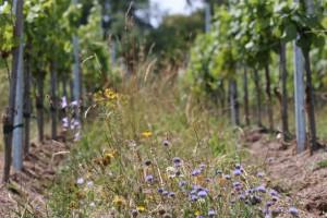 Flore diversifiée dans une jeune vigne de gewurztraminer au Lanzenberg