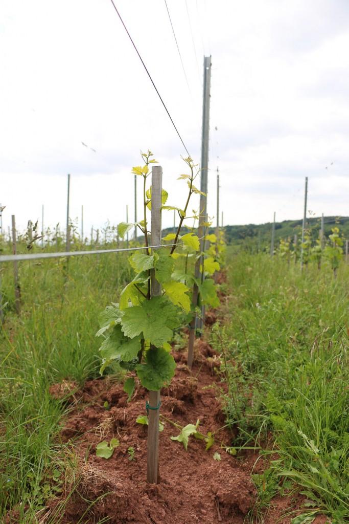 Jeune vigne de Riesling au lieu dit Bungertal