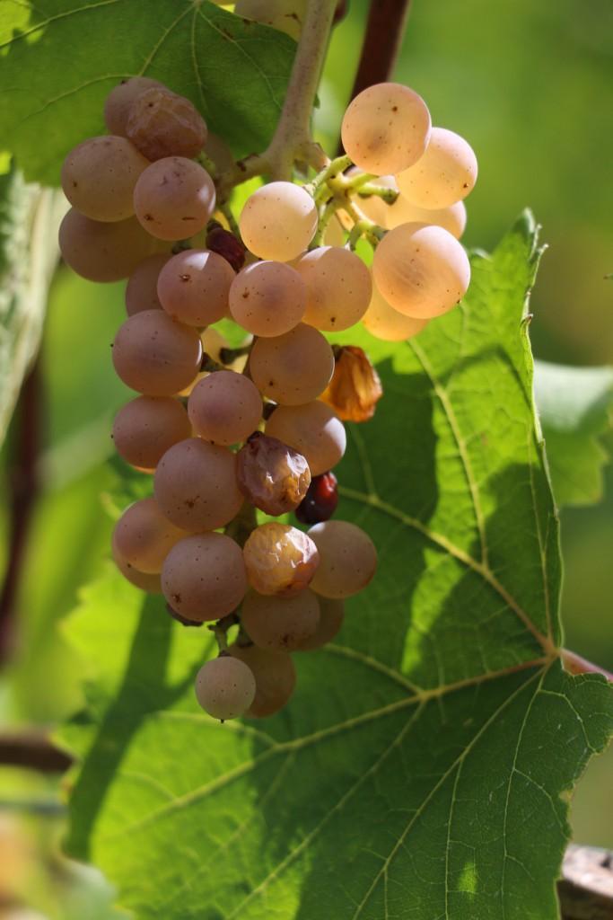 Auxerrois vieilles vignes qui commence à passeriller