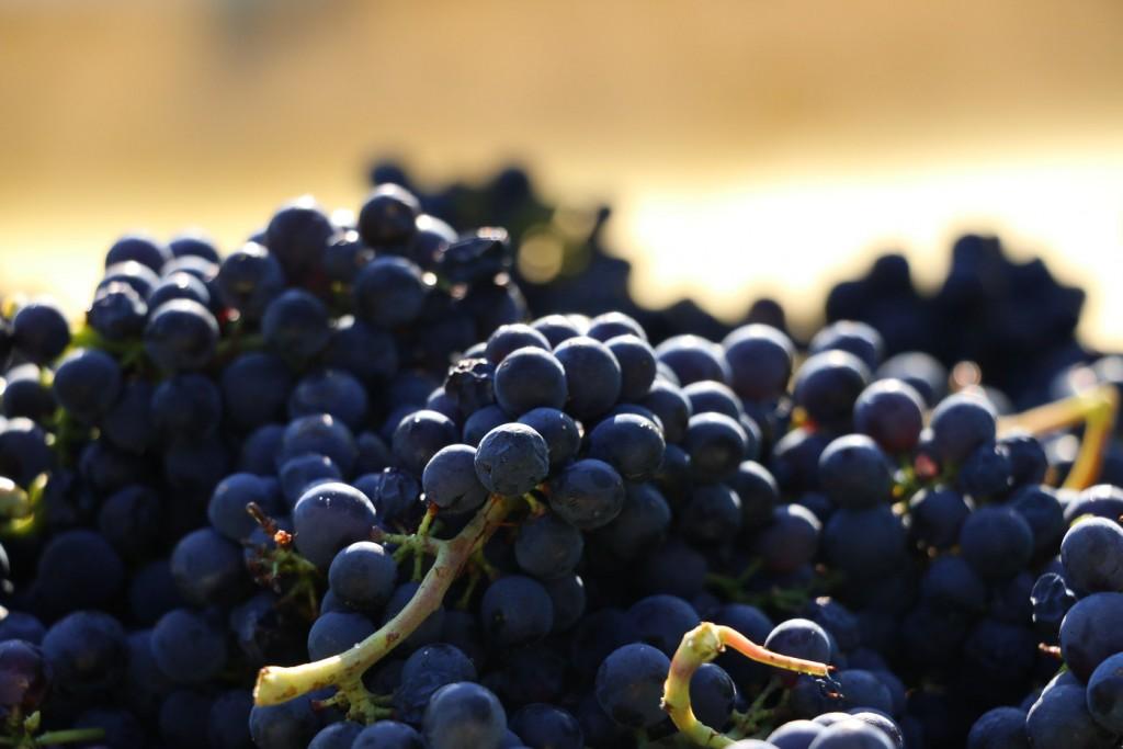 Pinot noir F