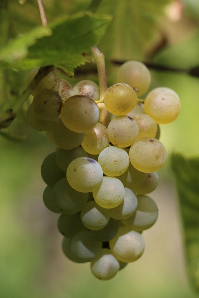 Pinot blanc pour tout naturellement