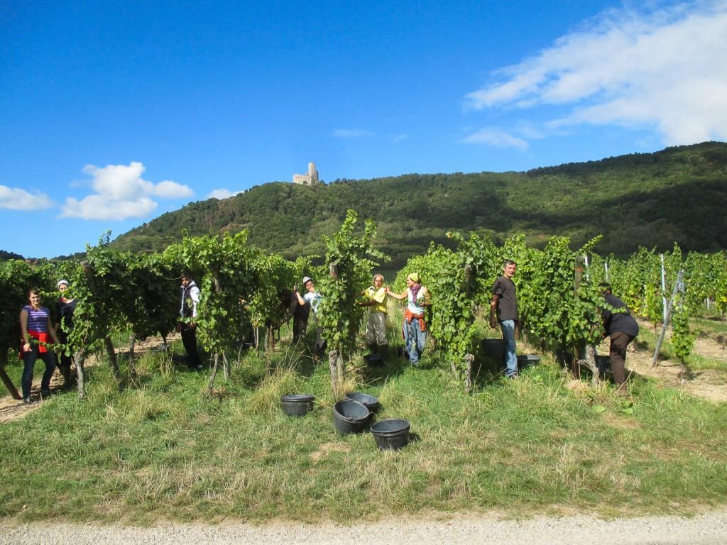 Pinot noir Rittersberg