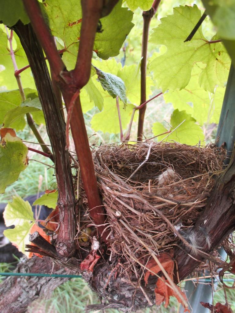 Un nid dans le cep