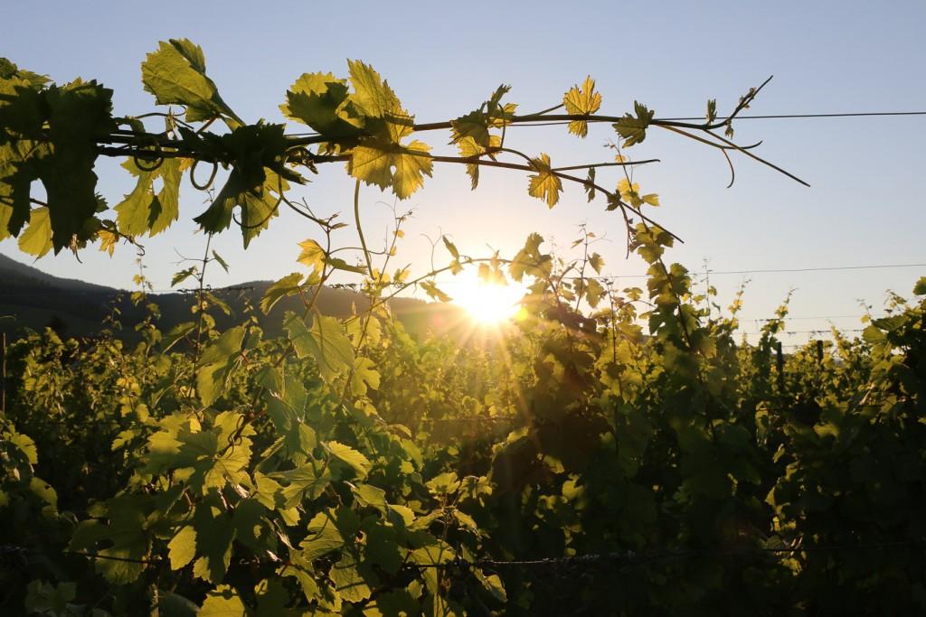 Tressage des vignes